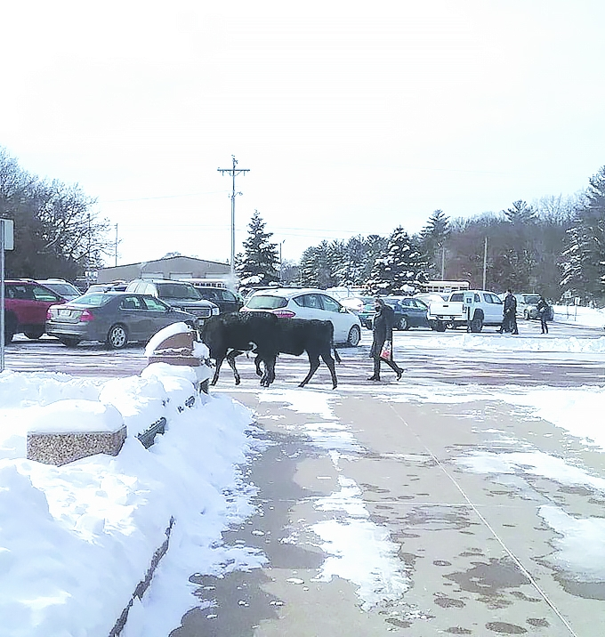 "Here come the cows!  Some area cows visited Adams Friendship Elementary School on Monday, February 8th.  ""Kids at school always look..."
